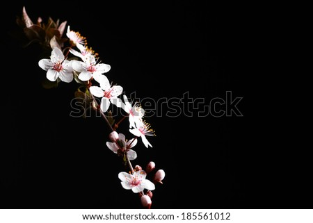 Some spring flowers on a tree branch, on a black background. - stock photo