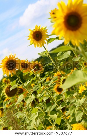 some sunflowers on a field against blue sky - stock photo