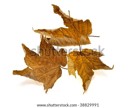 Some yellow dry leaves of a maple isolated on a white background - stock photo
