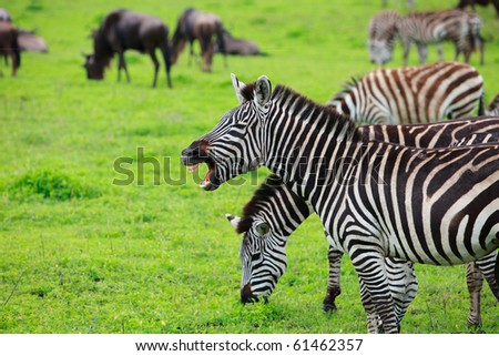 Some zebras with one showing teeth Ngorongoro crater in Tanzania