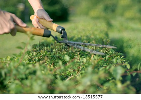 someone trimming bushes with  garden scissors - stock photo
