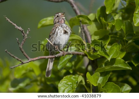 Song Sparrow (Melospiza melodia atlantica), Atlantic subspecies, in full song.