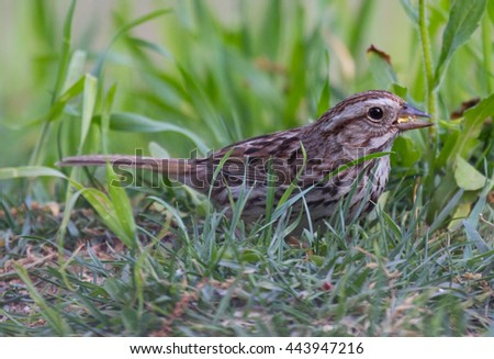 Song Sparrow (Melospiza melodia) foraging on the ground - stock photo