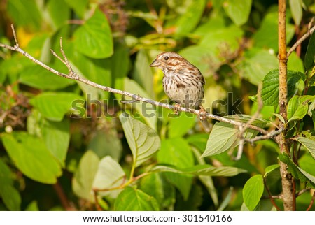 Song Sparrow (Melospiza melodia)  perched on a branch. Montreal, Quebec, Canada, North America.