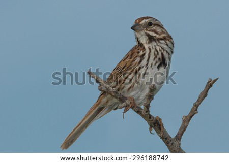 Song Sparrow perched on a dead branch.
