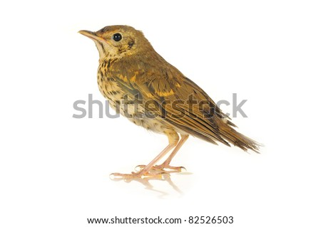 song thrush  on a white background - stock photo