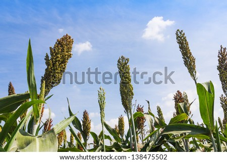 Sorghum or Millet field with blue sky background - stock photo