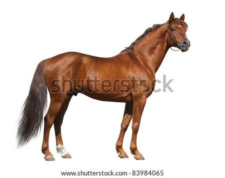 Sorrel Don stallion looking at camera - stock photo