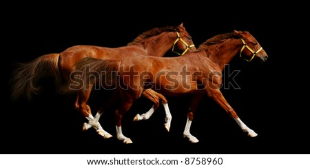 sorrel horses gallop - isolated on black - stock photo