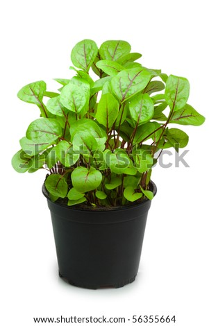 Sorrel in a pot - isolated on white background