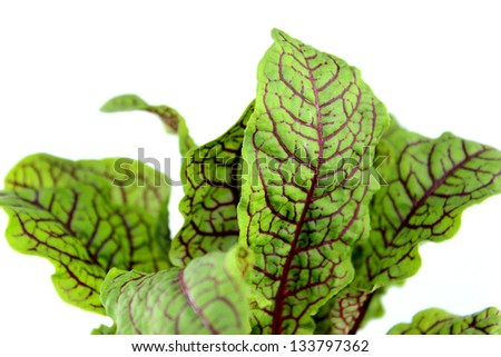 Sorrel leaves, organic herbs picked fresh for kitchen. - stock photo
