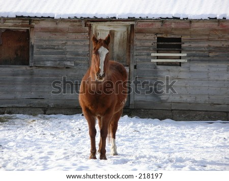 Sorrel mustang in snow in front of old barn - stock photo