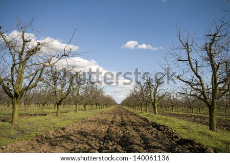 Sour cherry orchard at early spring before flowering