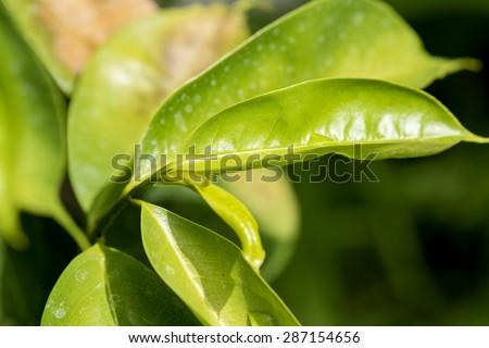Soursop, Prickly Custard Apple, tree,Medicinal properties. - stock photo