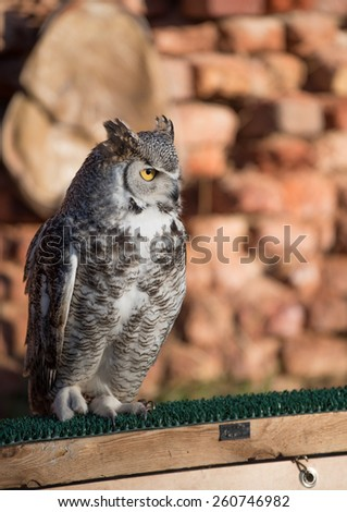 south africa grey owl standing on a wooden bar and a brick wall - stock photo
