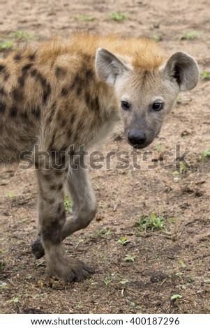 South Africa - juvenile spotted hyena - stock photo