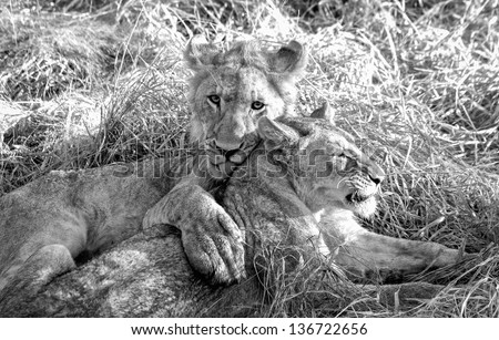South African Lion brother and sister playing - stock photo