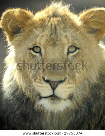 south african lion, male juvenile looking at camera, kruger national park,africa big cat - stock photo