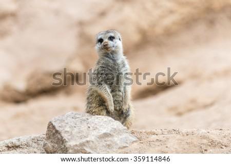 South African Meerkat  in Valencia Biopark (Suricate) - stock photo