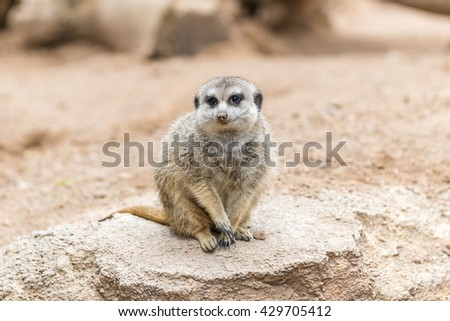 South African Meerkat (Suricate), sitting on the stone.