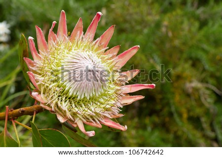 South African pink king protea plant (Cynaroides) in bloom.