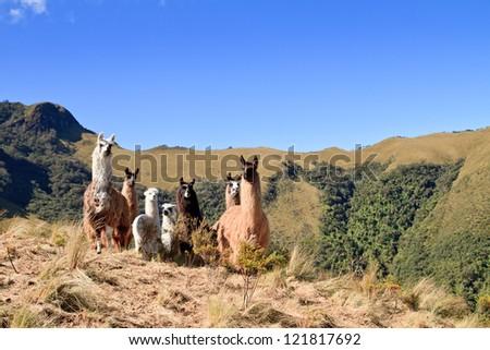 South America Alpaca and llama with Volcano on the background, Pasochoa Ecuador - stock photo