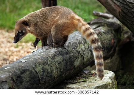 South American coati (Nasua nasua), also known as the ring-tailed coati. Wildlife animal.  - stock photo