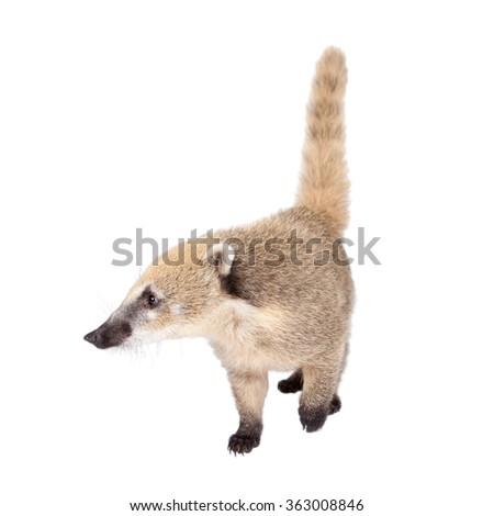 South American coati, Nasua nasua, baby isolated on white background - stock photo