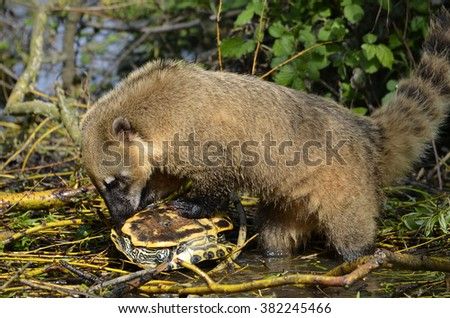 South American Coati, or Ring-tailed Coati (Nasua nasua) view of profile in the water and attacking a turtle - stock photo
