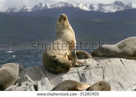 South American fur seals (Arctocephalus australis) resting on the rocks - stock photo