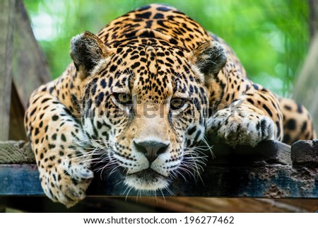South American jaguar  - stock photo