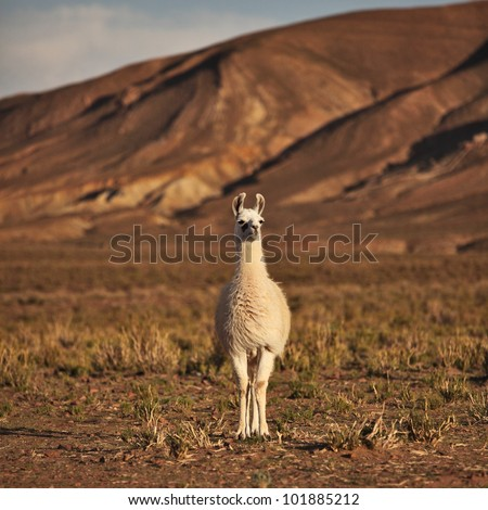 South American Llama - stock photo