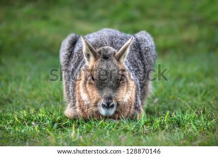 South american Mara laid down on grass - stock photo