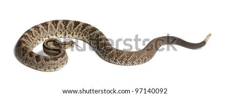 South American rattlesnake - Crotalus durissus,  poisonous, white background - stock photo