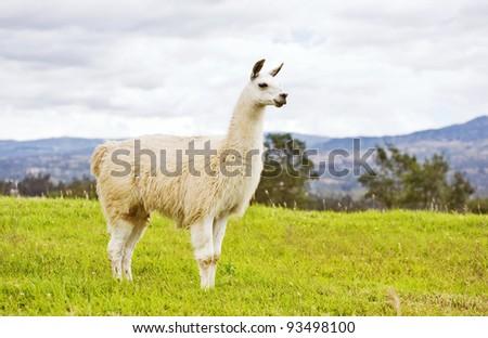 South American White Llama - stock photo