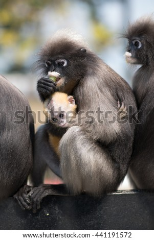 South Langur or Dusky leaf monkey is residents in Thailand (Trachypithecus obscurus),Selective focus,