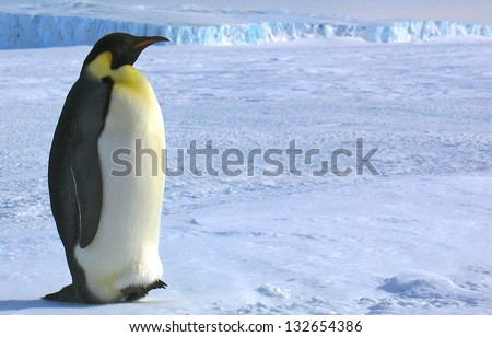 South pole Emperor penguins - stock photo