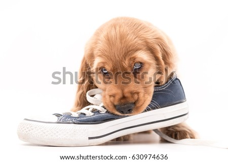 SOUTH YORKSHIRE, ENGLAND - APRIL 29, 2017: Beautiful golden cocker spaniel puppy chews on a navy and white trainer shoe