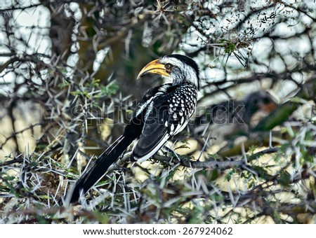 Southem yellow-billed hombill in Etosha National Park - Namibia, South-Western Africa - stock photo