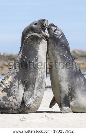 Southern Elephant Seal Juvenile males rearing and fighting Mirounga leonina Falkland Islands - stock photo