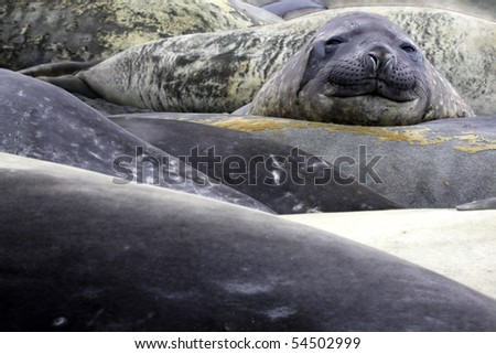 Southern Elephant Seal, Mirounga leonina - stock photo