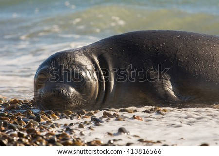 Southern Elephant Seal (Mirounga leonina) resting on the coast. Chubut, Patagonia Argentina, South America. - stock photo