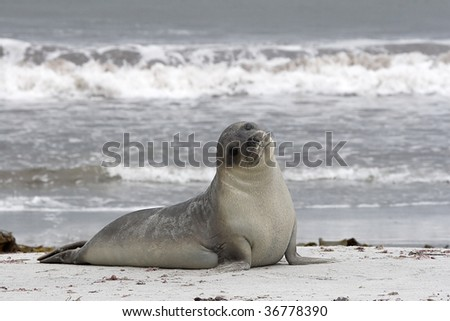 Southern elephant seal restin on the beach of the Falkland Islands - stock photo