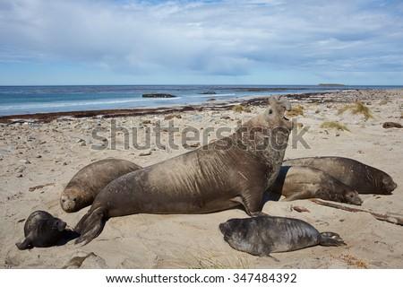 Southern Elephant Seals (Mirounga leonina) on a sandy beach on Sealion Island in the Falkland Islands. - stock photo