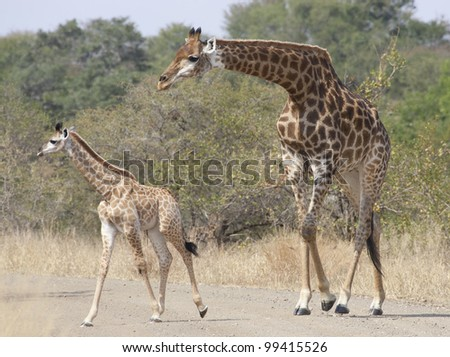 Southern Giraffe female and baby (Giraffa camelopardalis), Kruger Park, South Africa - stock photo