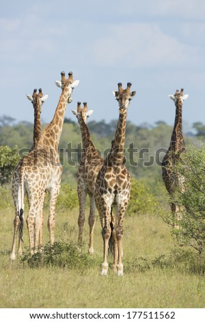 Southern Giraffe female and males group South Africa - stock photo