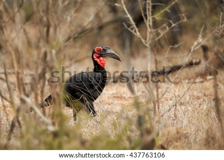 Southern ground hornbill, Bucorvus leadbeateri walking in dry bush. Large african bird, black colored with vivid red face and throat. Vulnerable species, northern South Africa. - stock photo