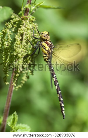 Southern Hawker - stock photo