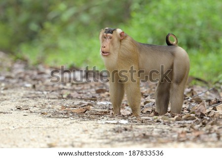 Southern pig-tailed macaque - stock photo