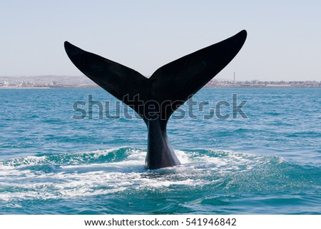 Southern right whale diving into water